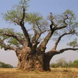 baobab-260x260 Bájky spod baobabu a ich tajomstvá: Prečo Bájky spod baobabu a nie Bájky spod čerešne?