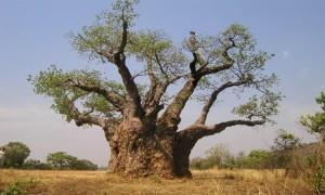 baobab-300x180 Bájky spod baobabu a ich tajomstvá: Prečo Bájky spod baobabu a nie Bájky spod čerešne?