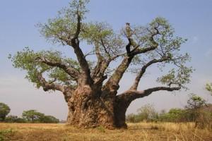baobab-300x200 Bájky spod baobabu a ich tajomstvá: Prečo Bájky spod baobabu a nie Bájky spod čerešne?